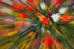 Out of Focus Tulips